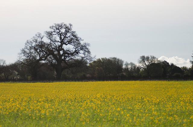 oak tree, a field of yellow mustard flowers